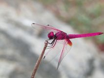 Dragon fly pink royalty free stock photos
