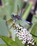 Dragonfly and Loosestrife. Blue dragonfly and orange bug co-exist feeding on a Gooseneck Loosestrife flower. Concept of benefits of not using pesticides and Royalty Free Stock Images