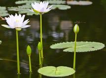 dragonfly lotos Obrazy Royalty Free