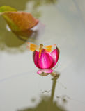 Dragonfly Lotus and beautiful Royalty Free Stock Photo