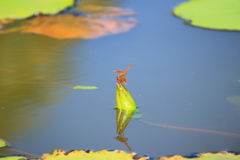 Dragonfly on the lotus bud Stock Photo
