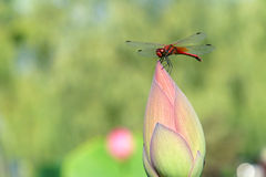 Dragonfly and lotus bud. The dragonfly stands on top of lotus bud Stock Image