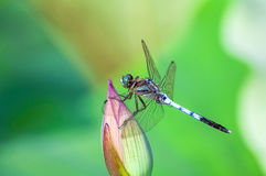 Dragonfly on lotus flower bud Stock Photos