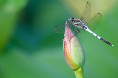 Dragonfly on lotus flower bud Royalty Free Stock Image