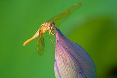 Dragonfly on lotus flower bud Stock Photo