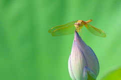 Dragonfly on lotus flower bud Royalty Free Stock Images