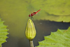Dragonfly on a lotus flower , Kruger, South Africa Stock Photography
