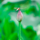 Dragonfly and lotus flower Stock Photography