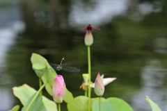 Dragonfly and lotus leaf Stock Photos