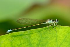 Dragonfly on the lotus leaf Royalty Free Stock Image