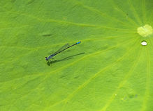 Dragonfly on Lotus Leaf Stock Photo