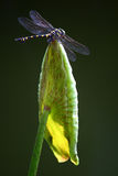 Dragonfly on a lotus leaf royalty free stock image