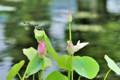 Dragonfly and lotus leaf Stock Photography