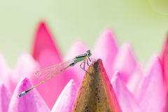 Dragonfly with lotus. One dragonfly with pink lotus Stock Photo