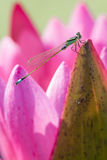 Dragonfly with lotus Stock Photos