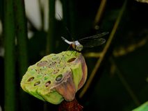 Dragonfly with lotus pods stock image