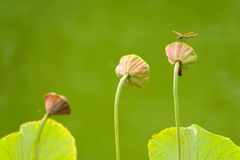 Dragonfly and lotus seedpod Royalty Free Stock Photo