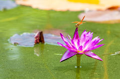 Dragonfly and Lotus Royalty Free Stock Images
