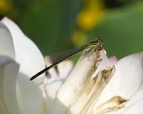 Dragonfly on Lotus Royalty Free Stock Photos