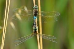 Dragonfly love Stock Photo