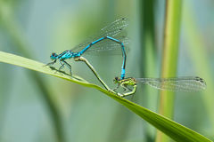 Dragonfly in love Royalty Free Stock Photos