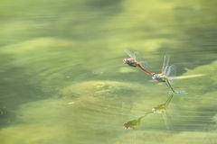 Dragonfly in love Stock Image