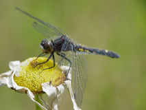 Dragonfly Lunch Stock Photography