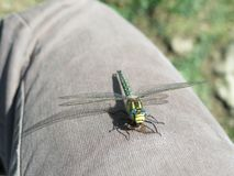 Dragonfly at lunch royalty free stock image