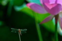 Dragonfly и lutos Стоковые Фото