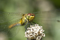 Dragonfly macro Stock Photography
