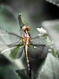 Dragonfly closeup Stock Image