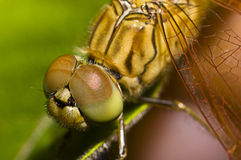 Dragonfly Macro. Macro shot of a dragonfly head with big eyes Stock Photos