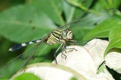 Dragonfly macro Stock Image