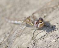 dragonfly macro Fotografia Royalty Free