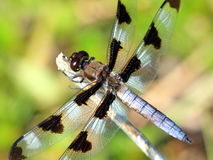 Dragonfly macro. Sitting on the stick and waithing for Royalty Free Stock Photos