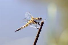 Dragonfly macro (Anaciaeschna isoceles). Dragonfly macro shot (Anaciaeschna isoceles royalty free stock image