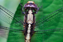 Dragonfly Macro Closeup Royalty Free Stock Photography
