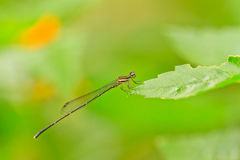 Dragonfly Stock Photography
