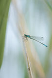Dragonfly in macro. Damselfy is sitting and resting stock photos