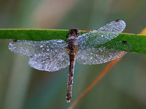 Dragonfly macro with dew on the plant Royalty Free Stock Images