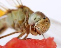 Dragonfly macro royalty free stock photos