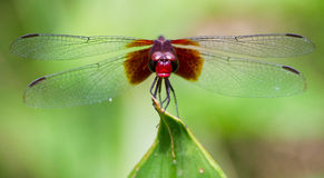 Dragonfly Macro Royalty Free Stock Photo