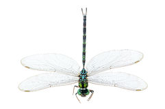 Dragonfly macro isolated Stock Image