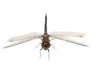 Dragonfly macro isolated on white Royalty Free Stock Image