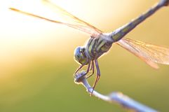 Dragonfly macro royalty free stock photography