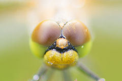 Dragonfly close up. Dragonfly at morning ,with water drops royalty free stock photo
