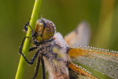 Dragonfly close up. Dragonfly at morning ,with water drops royalty free stock image