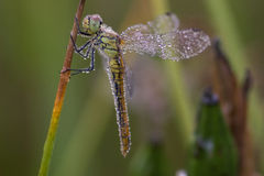 Dragonfly macro and Dew. Dragonfly at morning ,with water drops stock images