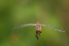 Dragonfly. At morning ,with water drops royalty free stock photography