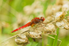 Dragonfly. At morning ,with water drops stock images